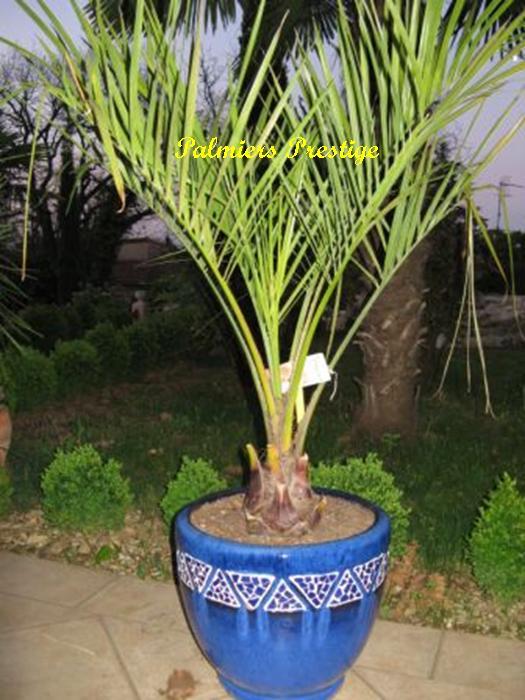 palmiers prestige vente de palmiers et cocotiers d. Black Bedroom Furniture Sets. Home Design Ideas