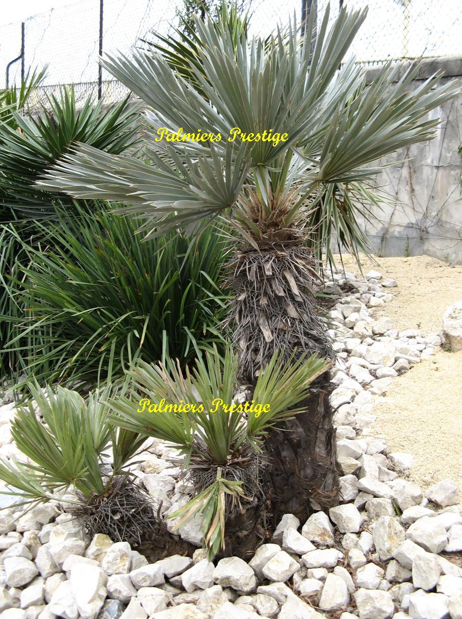 Palmiers prestige vente de palmiers et cocotiers d for Plante palmier exterieur