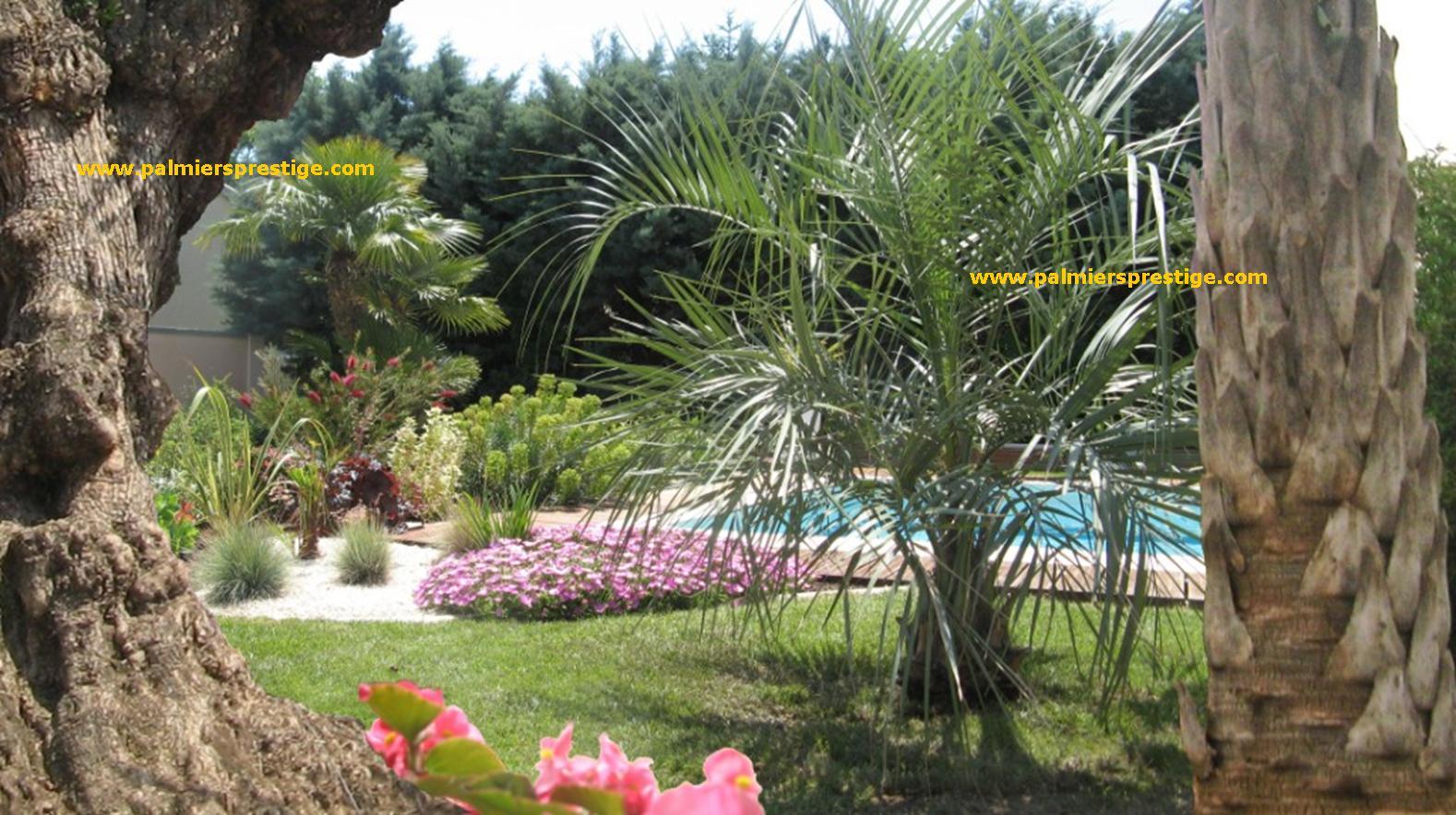 Palmiers prestige vente de palmiers et cocotiers d for Quel palmier en pot exterieur