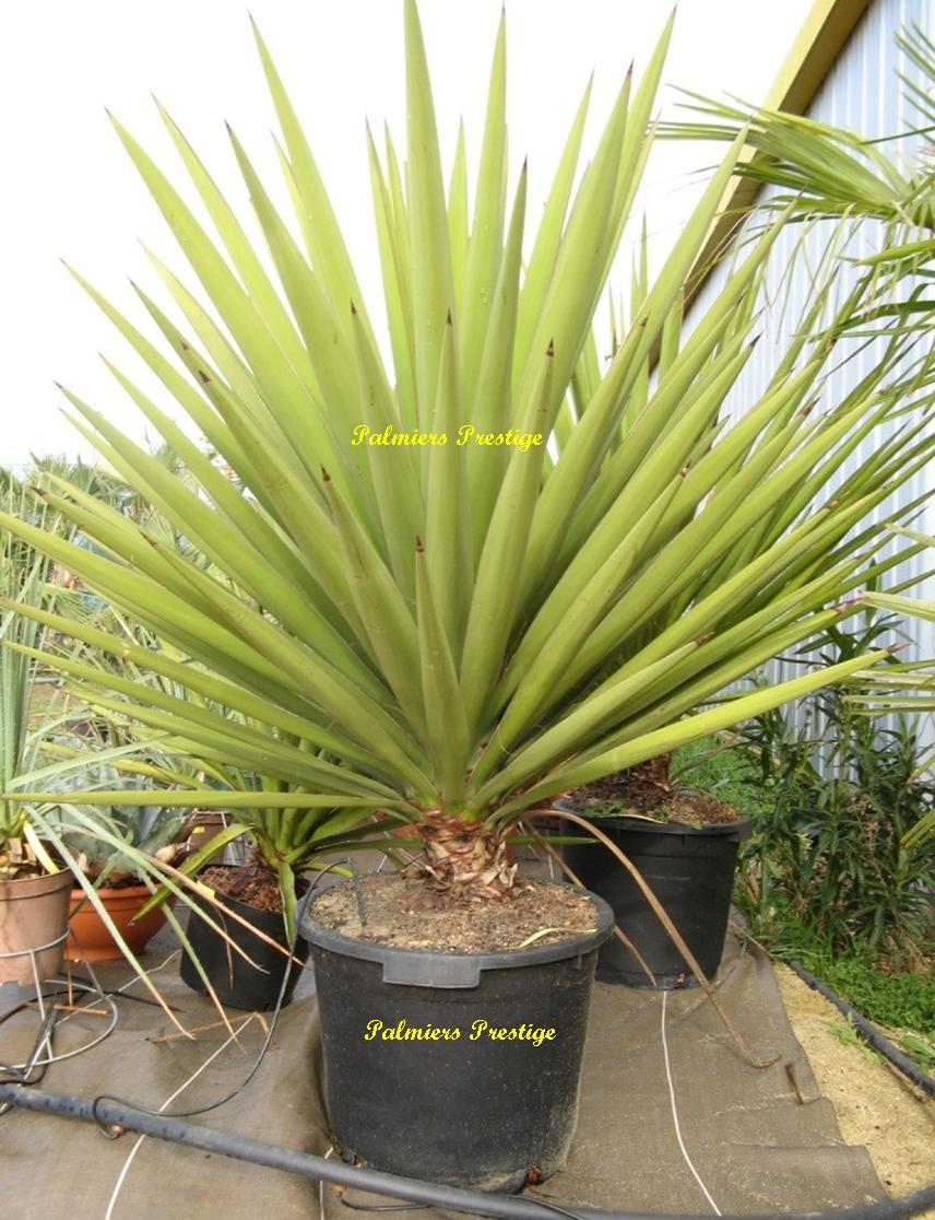 Palmiers prestige vente de palmiers et cocotiers d for Plante exotique exterieur rustique
